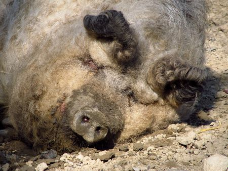 cuteness: portrait of cute fat hairy pig sleeping on the ground