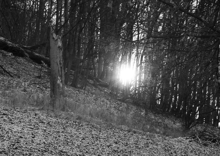 light shining through the forest in winter in black and white tones
