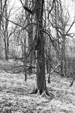 cursed: chestnut tree with bare branches bowed down in winter in black and white Stock Photo