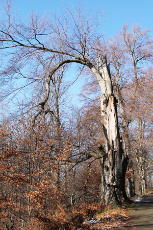 bended: old beech tree with bare bended branches