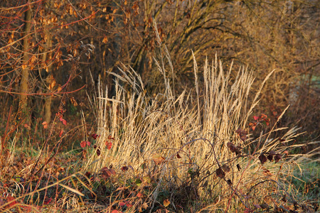 tuft: tussock of sear grass in the autumn nature