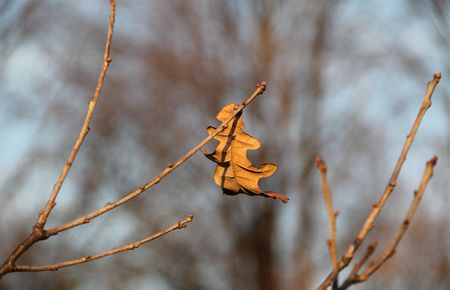 sear and yellow leaf: sear oak leaf stuck on the twig