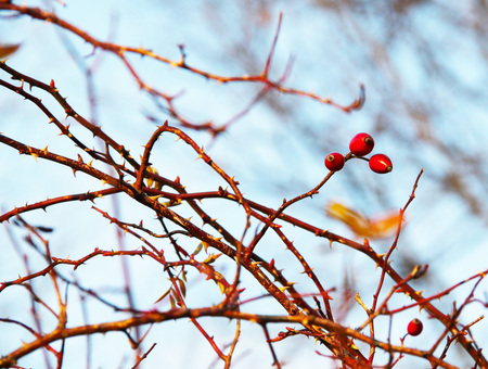 close photo of some twigs with thorns and several red rosehips
