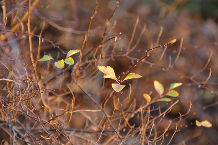 sear and yellow leaf: several yellow leaves on the almost bare bush in autumn Stock Photo