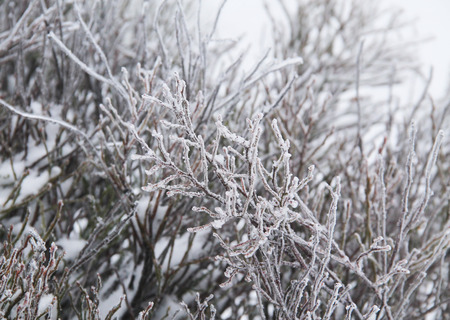 blueberry bushes: bare twigs of blueberry bushes covered with hoarfrost and snow Stock Photo