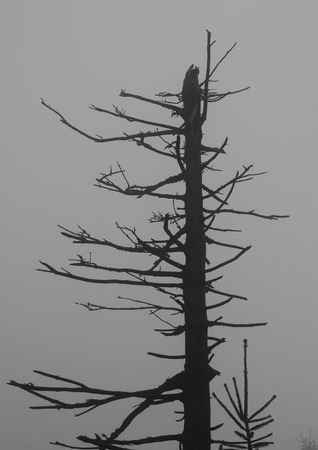 black and white photo of damaged bare tree in the mist