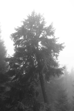 black and white photo of spruce on misty day