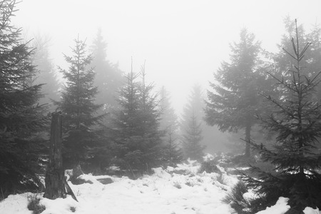ghostlike: black and white photo of spruce forest in winter on misty day