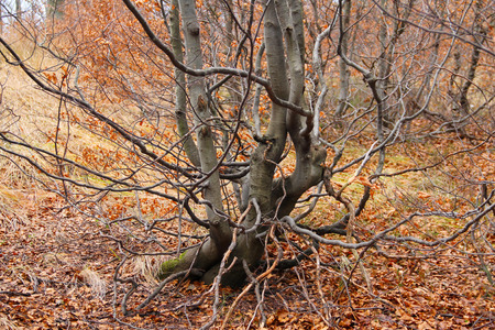 crooked: small beech tree with crooked branches in the autumn forest in the mountains