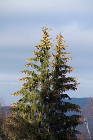plenty: two tall spruces with plenty of nobs
