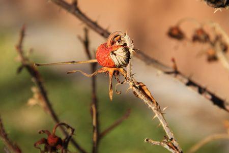 sear: close photo of sear fruit of common medlar Stock Photo