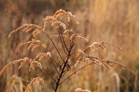 sear: close photo of sear european goldenrod