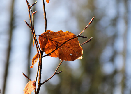 sear: close photo of twig with sear leaves in autumn