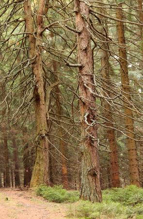 cursed: old bare spruce trees in the forest Stock Photo