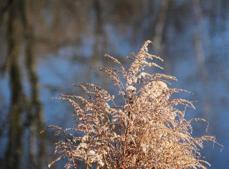 goldenrod: close photo of sear european goldenrod