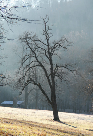 crooked: bare tree with crooked branches in the misty morning Stock Photo