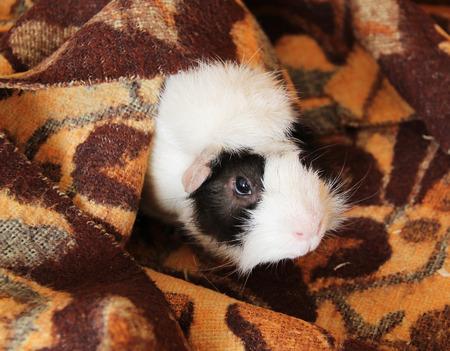 cuteness: cute guinea pig peeping from the brown blanket