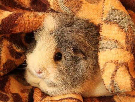peeping: cute guinea pig peeping from the brown blanket