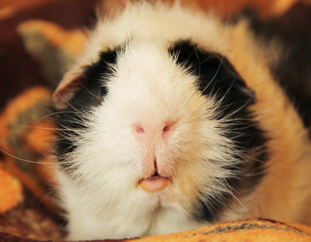 piebald: close photo of nose and mouth of guinea pig Stock Photo