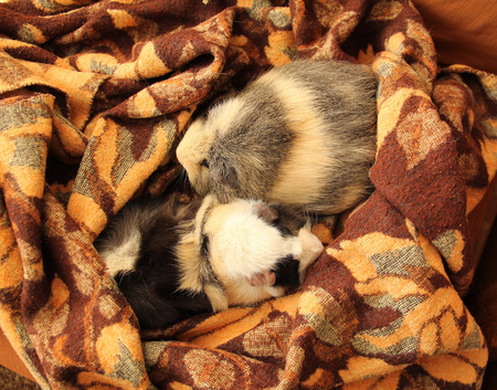 cavie: two cute guinea pigs lying together on the brown blanket Archivio Fotografico