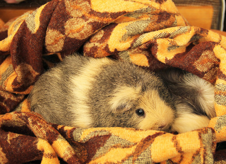 piebald: cute guinea pig relaxing on the the brown blanket Stock Photo