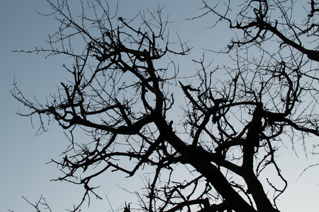 crooked: bare crooked branches of a cherry tree