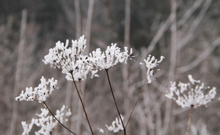 invasive species: close photo of ground elder covered with hoarfrost and snow