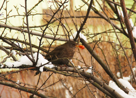 turdus: blackbird female in the bare bush eating a cherry in winter