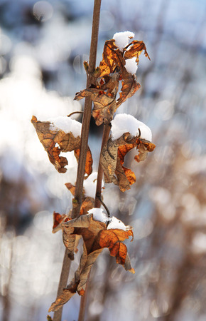 sear: sear leaves on the twig with pieces of snow in winter