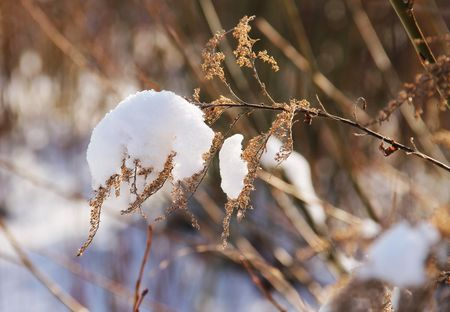 sear: close photo of sear woundwort covered with snow Stock Photo