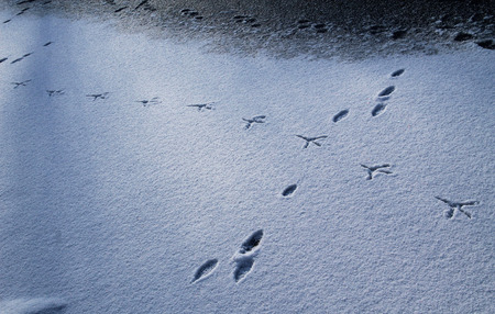 ice covered: footprints of a heron and a hare on the ice covered with snow