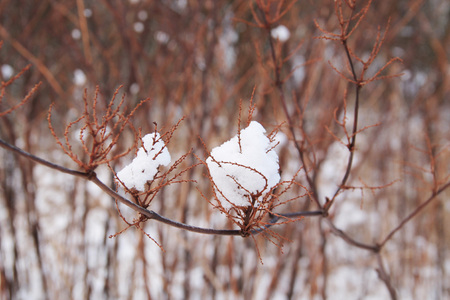 sear: round balls of snow stuck on the sear twig of bush in winter