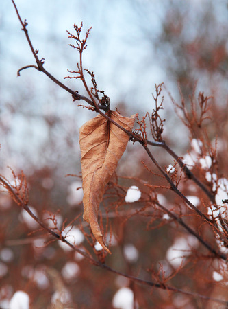 sear: sear leaf on the twig with pieces of snow in winter Stock Photo