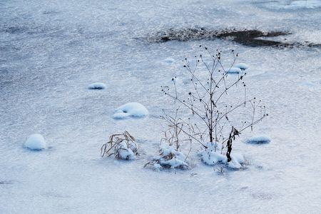 sear: melancholic photo of the sear plant growing from the ice in winter