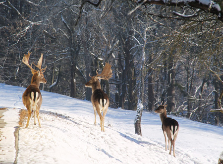 several: group of several fallow deers in winter