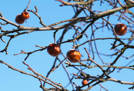 wizened: shrunk apples on the twigs of a tree in winter