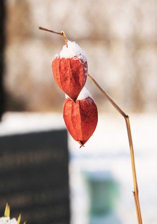 winter cherry: close photo of bright orange winter cherry with snow caps in winter