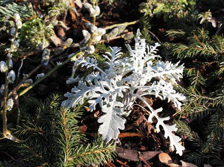 shaggy: close photo of shaggy white leaves of decorative plant Stock Photo