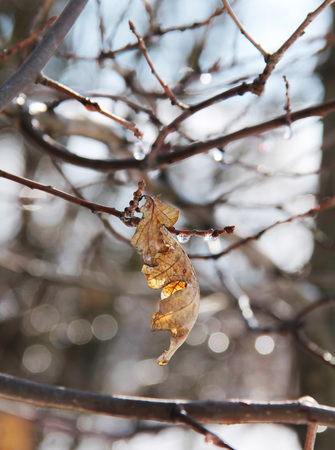 sear: close photo of glittering drops of water and sear leaves on the twigs Stock Photo
