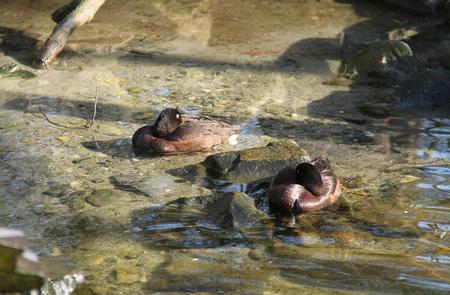 ferruginous: ferruginous ducks having rest in the shallow water Stock Photo