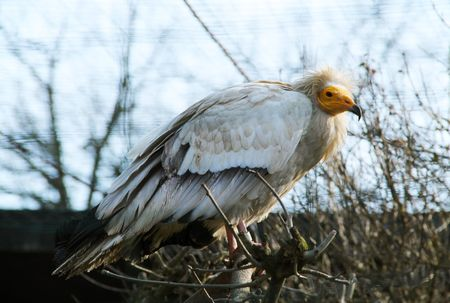 a large bird of prey: Egyptian vulture Neophron percnopterus in the aviary
