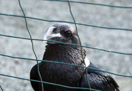 aviary: portrait of a big white-necked raven in the aviary
