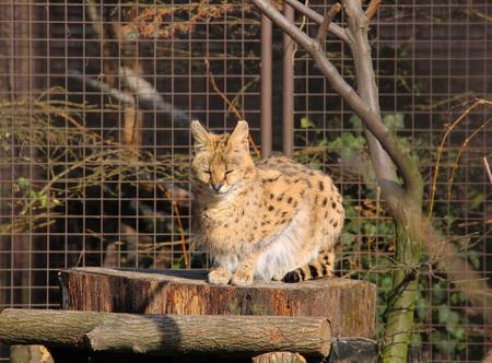 fluffy: fluffy serval having rest in the sun
