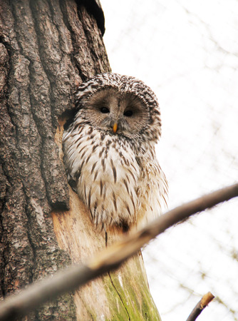 fluffy Ural owl sitting in the hole in the trunk of a tree