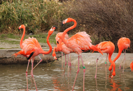 strife: bright colorful flamingoes arguing and struggling with each other