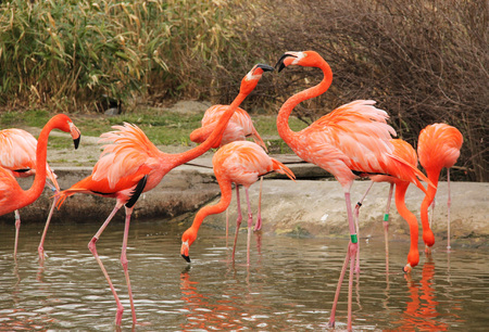 bright colorful flamingoes arguing and struggling with each other