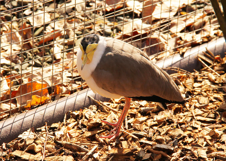 miles: masked lapwing Vanellus miles in the aviary Stock Photo