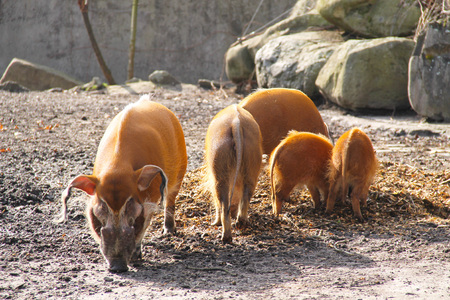 bush hog: A family of red river hogs in the ZOO Stock Photo