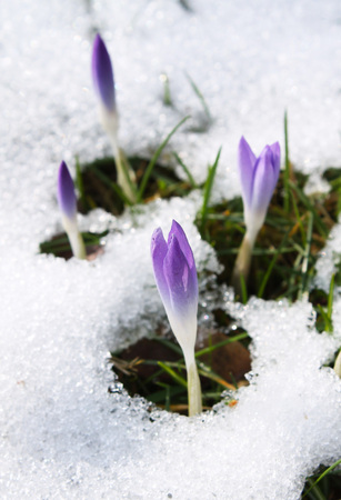 crocuses: close photo of light purple blooms of crocuses in the snow in early spring