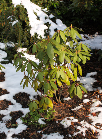remnants: rhododendron with green leaves in the park with remnants of snow Stock Photo
